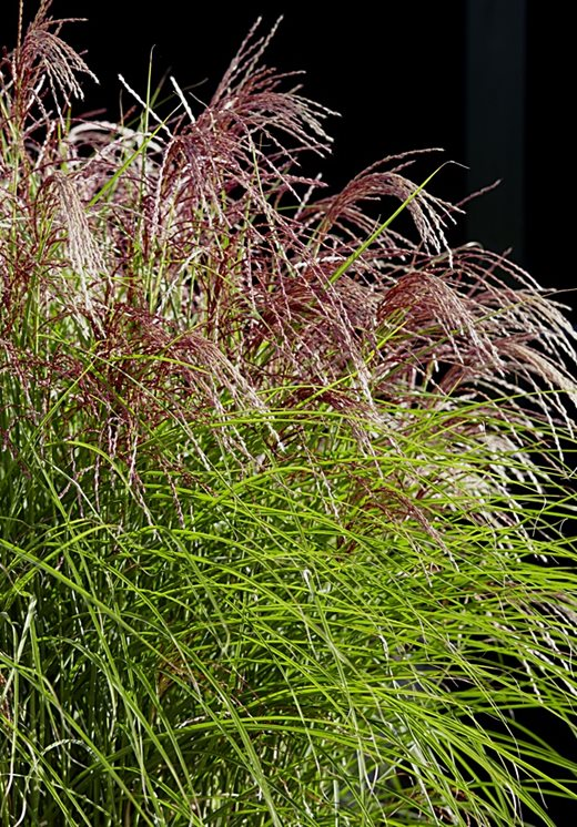 Miscanthus sinensis Red Cloud ('EMPMIS01')
