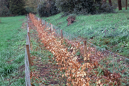 Pruning A Beech Hedgerow Best Time To Prune Beech Hedge Plants