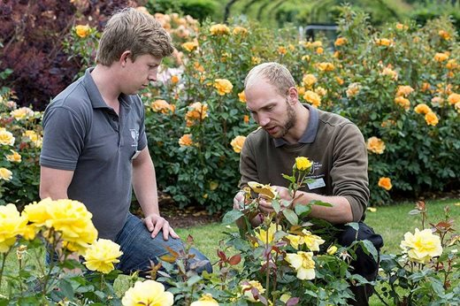 Rose pruning training