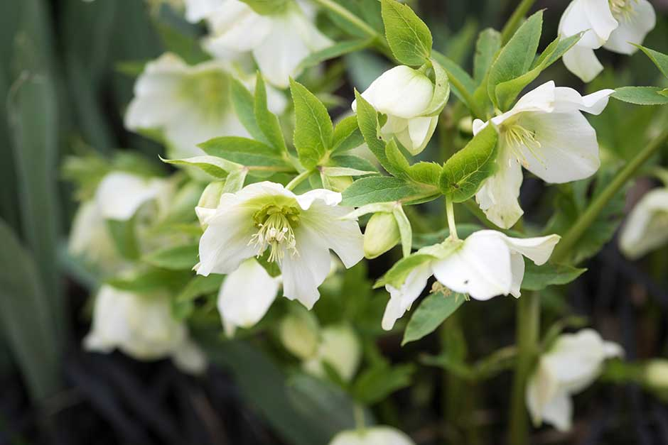 Discover hellebores