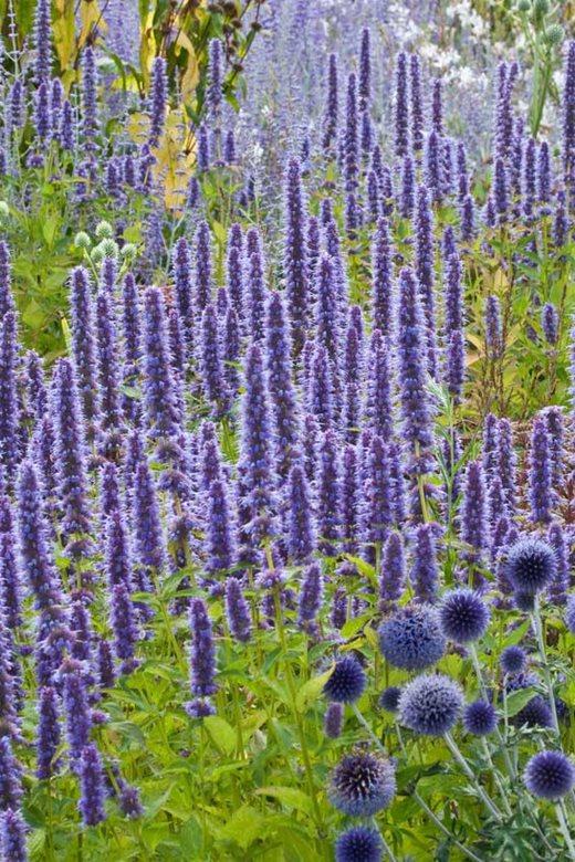 Rhs gardening top 10 late flowering perennials rhs gardening agastache blue fortune mightylinksfo