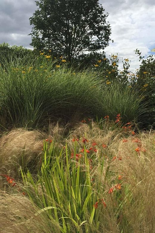 Stipa tenuissima with Crocosmia 'Venus' + Miscanthus 'Morning Light' with Rudbeckia 'Herbstonne'