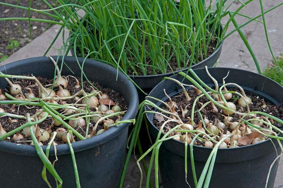 RHS Grow Your Own - Salad onions