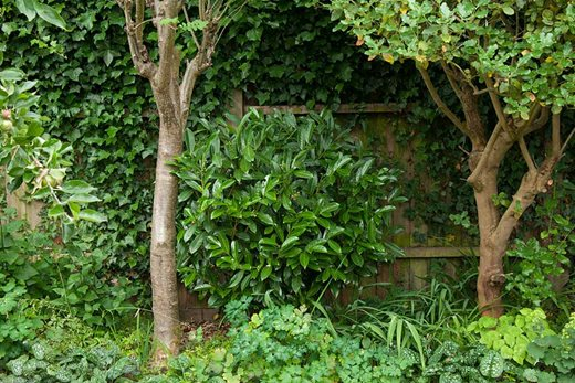 Cherry laurel, ivy and standard trees used for privacy