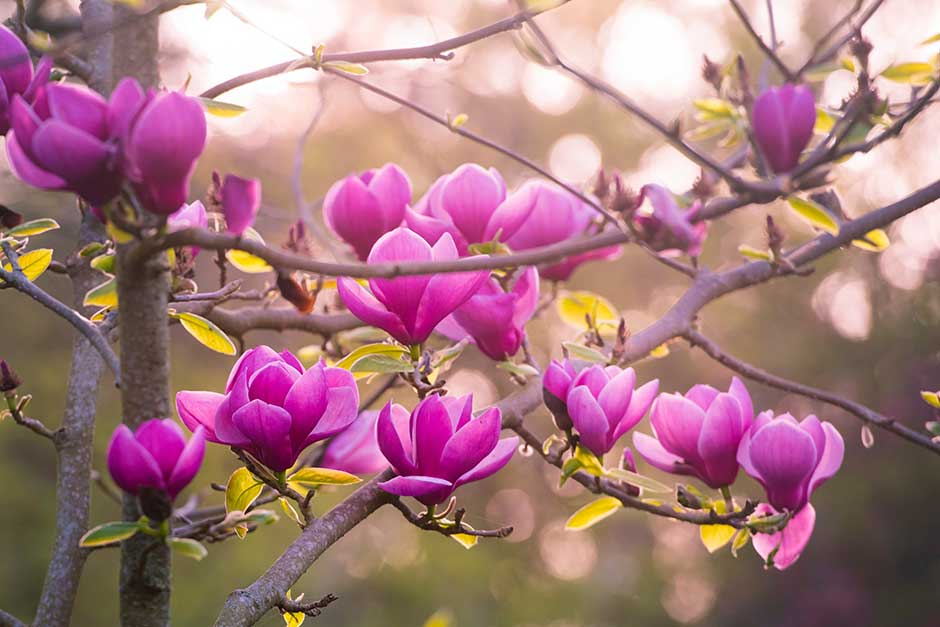 How To Grow Magnolias Rhs Gardening