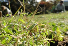 Planting maiden pinks in the wildflower area