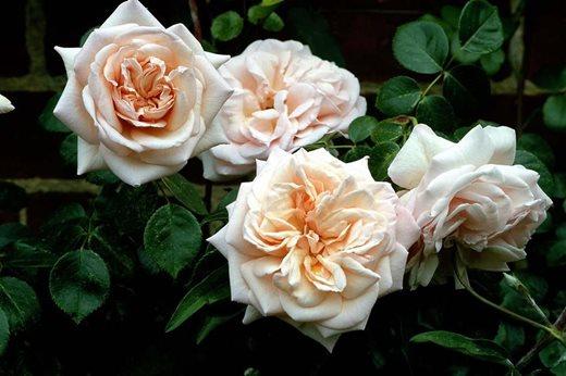 rachel de thame 39 s favourite roses rhs gardening. Black Bedroom Furniture Sets. Home Design Ideas