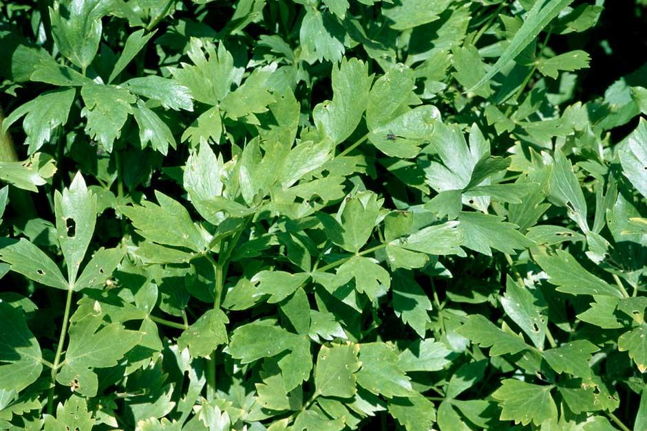 how to grow lovage from seed uk