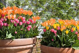 Potted tulips make a bold spring statement at RHS Garden Hyde Hall