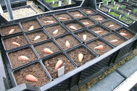 sowing tree seed