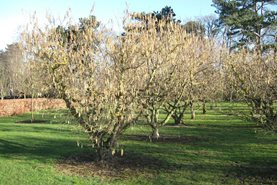 Catkins on the cobnuts and filberts at RHS Garden Wisley
