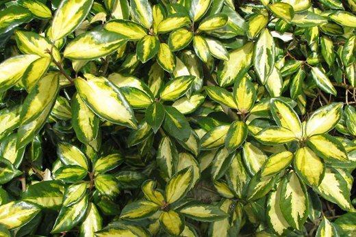 Elaeagnus ebbingei 'Limelight'