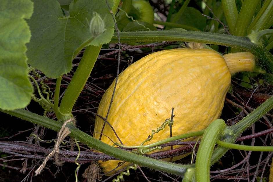 an analysis on how to grow your own great pumpkin for halloween Where can you get pumpkin seeds for jack-o-lanterns  do you own or manage a restaurant we carry everything you could need including refrigeration,.