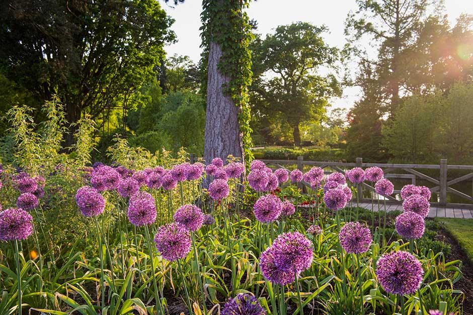 How To Grow Alliums Rhs Gardening