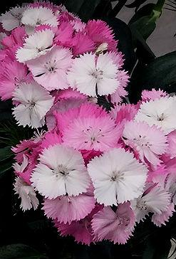 New and improved sweet william rhs gardening sweet william sweet pink magic mightylinksfo