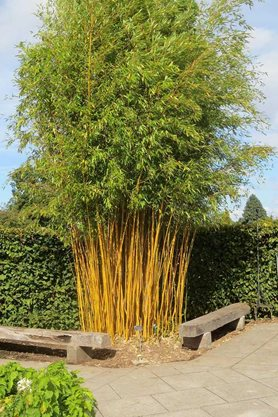 Golden bamboo after its tidy up