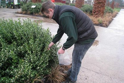 Collecting seed of Sarcococca confusa at RHS Garden Wisley