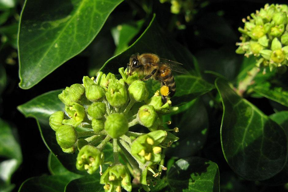 honeybee on ivy