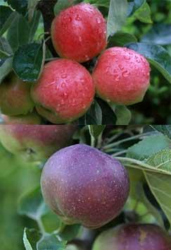 Starline Apples 'Fire Dance' (top) and 'Blue Moon'