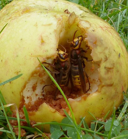 Two hornets eating a fallen apple