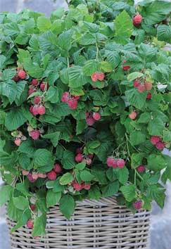 Raspberry 'Ruby Beauty' is the first thornless patio raspberry
