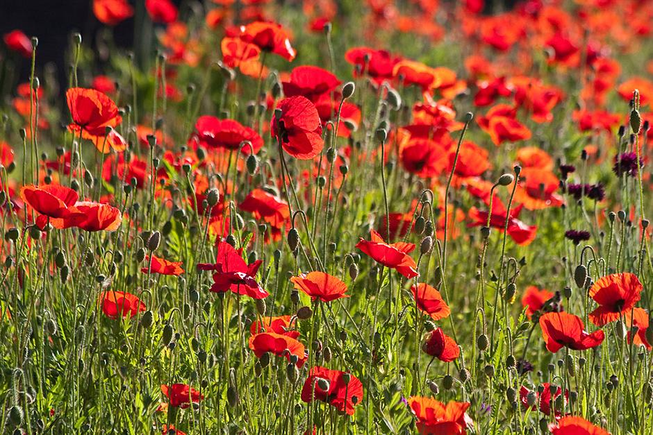 Plants for kids poppy rhs gardening poppy this plant mightylinksfo