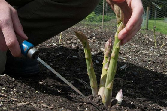 How To Grow Asparagus Rhs Gardening