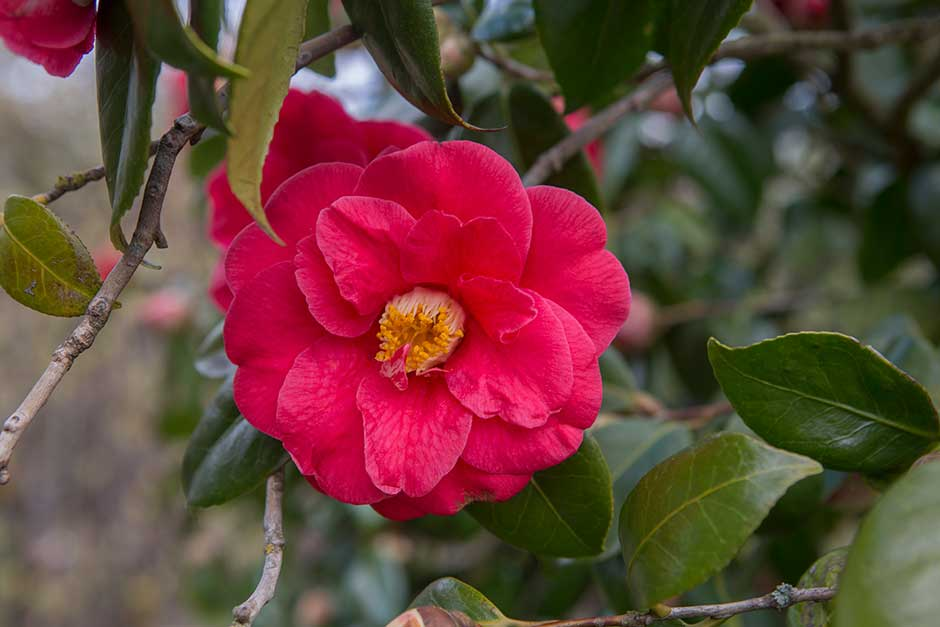 How To Grow Camellias Rhs Gardening