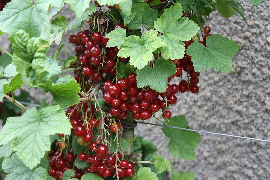 The Garden Is Sheltered By A 2.4m (8ft) Stone Wall Facing South And West  Providing Ideal Conditions For Training Fruit. The Inclusion Of Flowers Is  ...