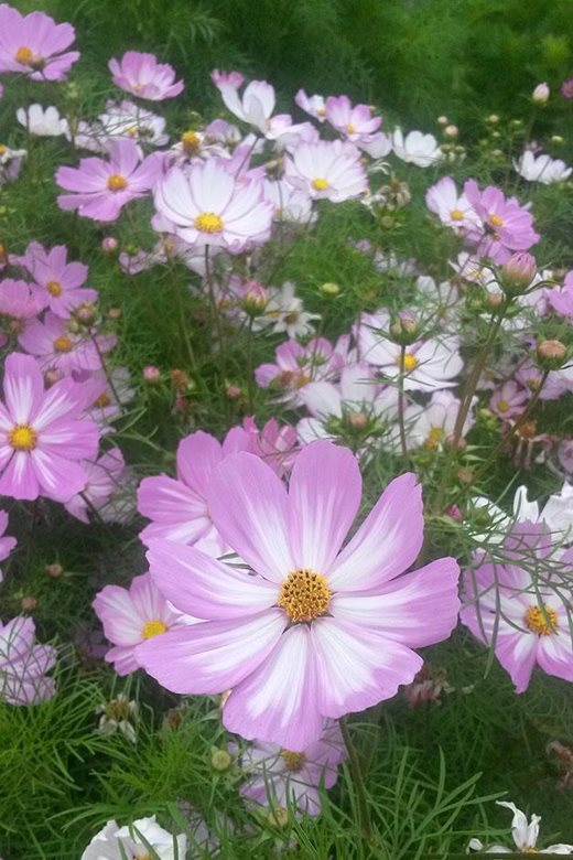 Cosmos 'Cosimo Pink-White' on the Trials Field at Wisley